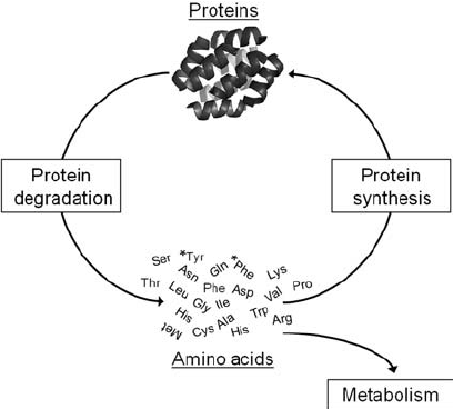 Protein-turnover-in-the-heart-The-balance-of-protein-synthesis-and-degradation