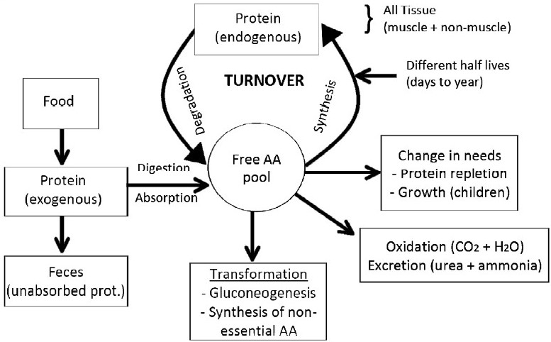 Protein turnover results from synthesis and degradation of proteins 2 (protein turnover, Ureagenesis, gluconeogenesis)
